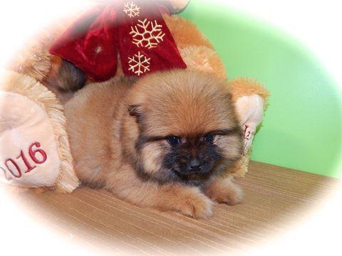 Pomeranian puppy for sale in HAMMOND, IN. ADN-22749 on PuppyFinder.com Gender: Male. Age: 8 Weeks Old