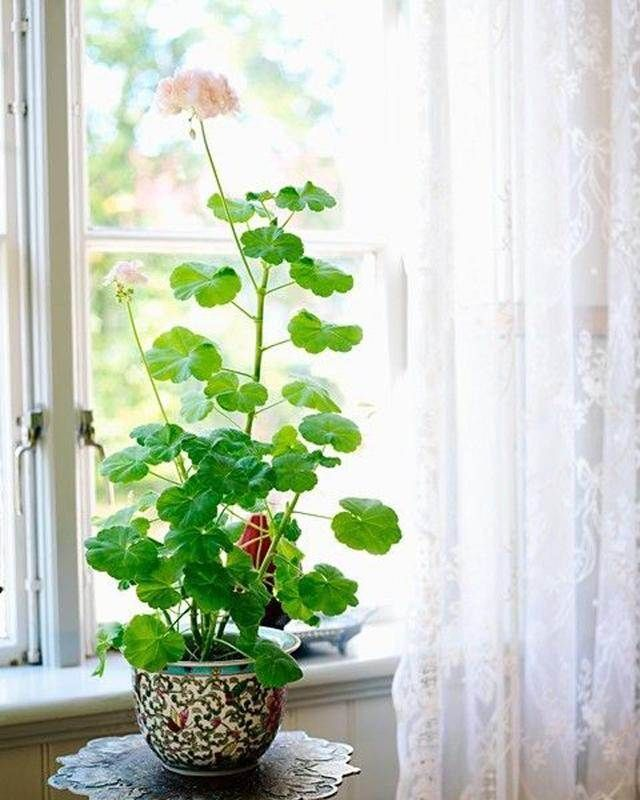 How To Grow Geranium Indoors Year Round Geraniums Indoors