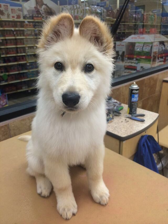 Awhhh German shaphard with golden retriever mix