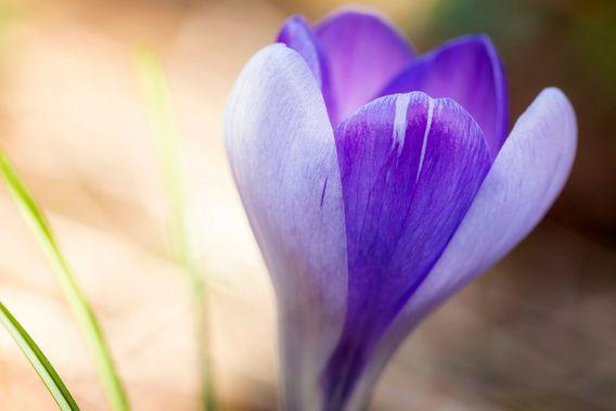 Nieuw in mijn Werk aan de Muur shop: Zacht paarse macro foto van een krokus