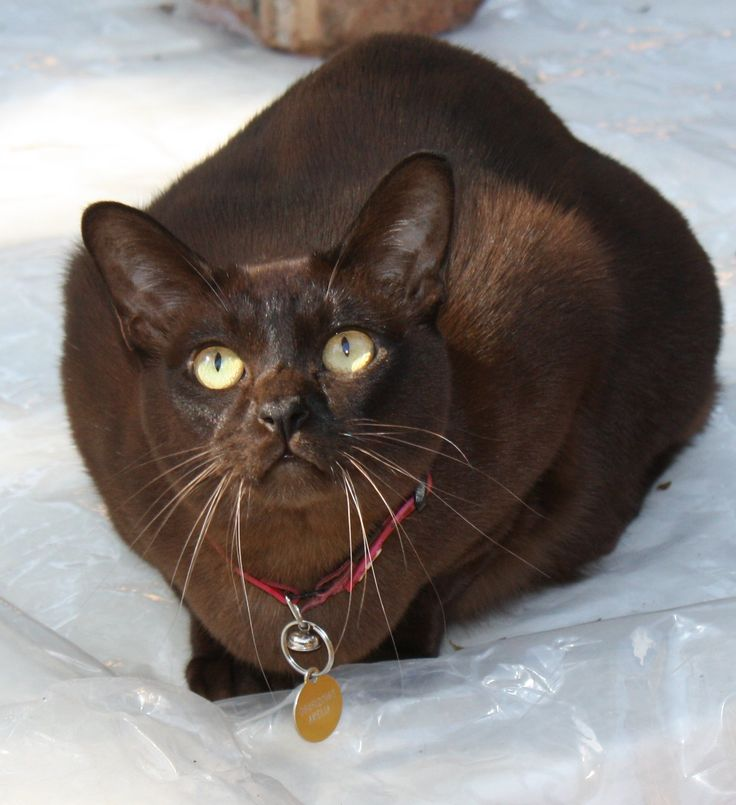 119 best Burmese Cats images on Pinterest Animals Cats and