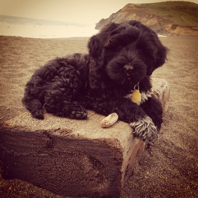 Moshi the Portuguese water dog