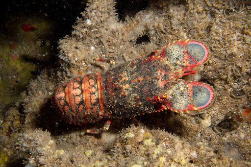 17 Best images about Crustaceans - Fresh/Salt Water & Land ...