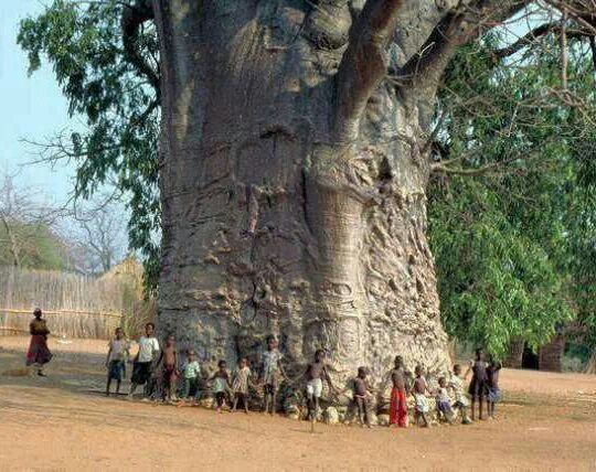 2000 year old baobab tree in South Africa.