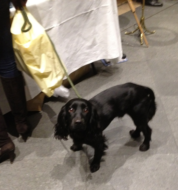 8 Best Images About Lupo On Pinterest Cocker Spaniel