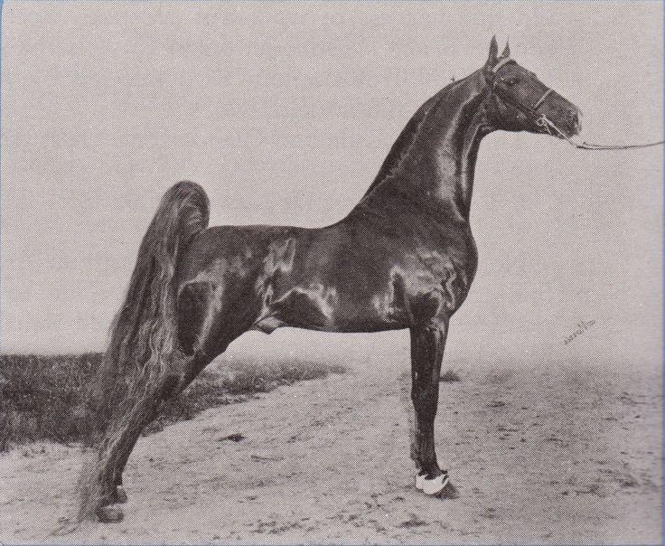 Best HorsesSaddlebreds Images On   American