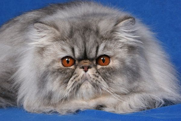 blue silver spotted tabby persian