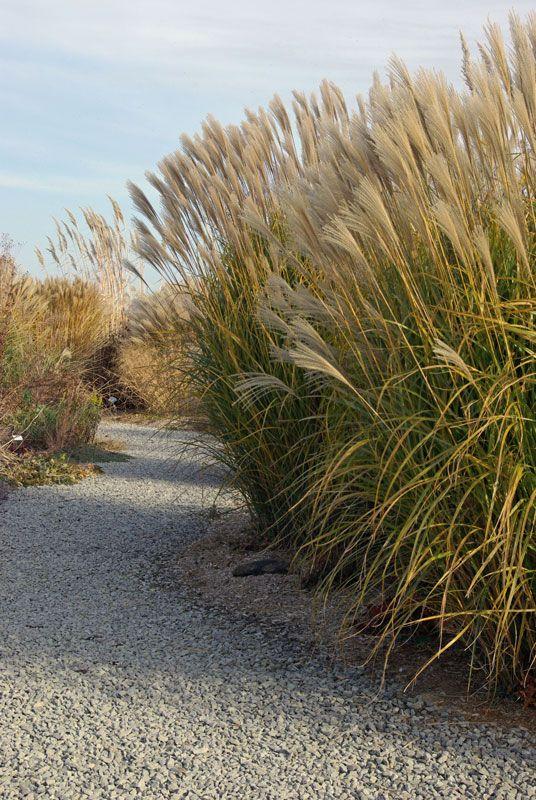 Miscanthus sinensis, (Prachtriet) om de 5 a 6 jaar delen om compacte, gezonde  planten te behouden.