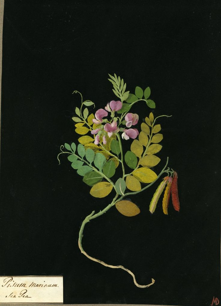 Mary Delany : Pisum Marinum, formerly in an album (Vol.VII, 79); Sea Pea. 1779  Collage of coloured papers, with bodycolour and watercolour, with a leaf sample, on black ink background