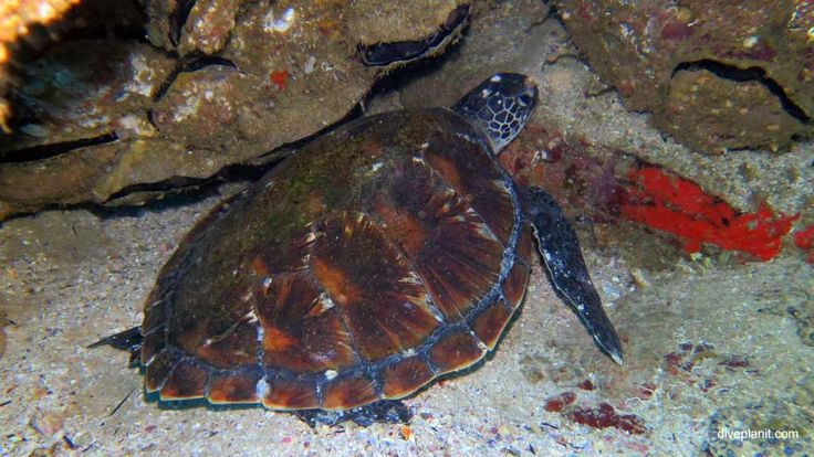 Want to see turtles up close - check out Jetty Dive at diveplanit.com #scuba #diving #underwater #travel #diveplanit