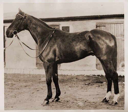 Workman (IRE) Br. g. 1930 Cottage-Cariella(Caricato): Hors Racing, Thoroughbred Racehor, Thoroughbred Horses, 1930 Cottagecariellacaricato, Horses Racing, Photo
