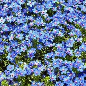 Cambridge Blue Lobelia Seed Requires Light For Germination And Is So