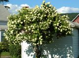 Tall Shrubs: Picture: the tall shrub, PeeGee hydrangea is very tree-like in shape.