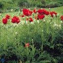 Oosterse klaproos (Papaver orientale 'Beauty of Livermere')  Kleur:Paars, Rood, Zwart Bloeitijd:Juli, Juni, Mei Max. hoogte:80cm Standplaats:Halfschaduw, Zon Geurend:Ja Groenblijvend: