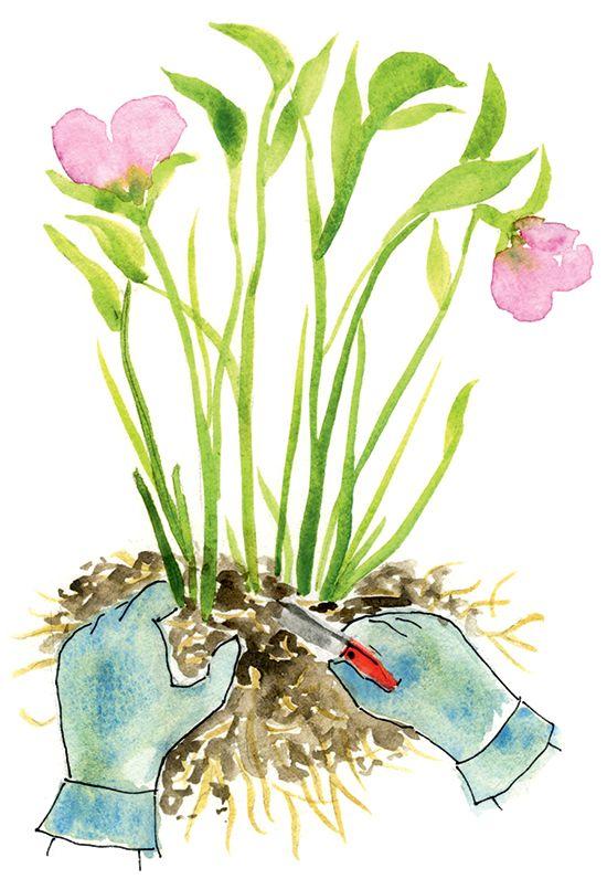 how to grow hellebores in pots