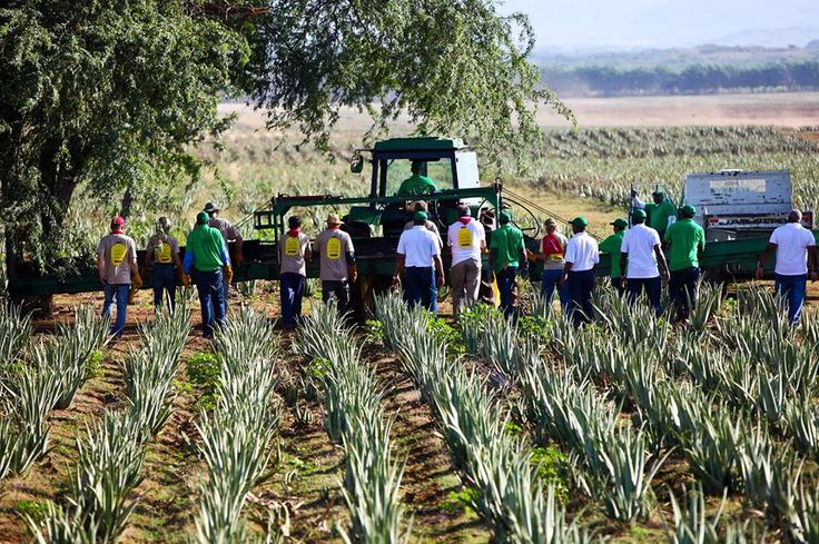 Did you know our 6,500 acre Aloe farm in the Dominican Republic is the largest in the world? Despite its size we still make sure all the Aloe is harvested by hand, treating it with great care. Because we only want the best for you. www.AloeLiving.net