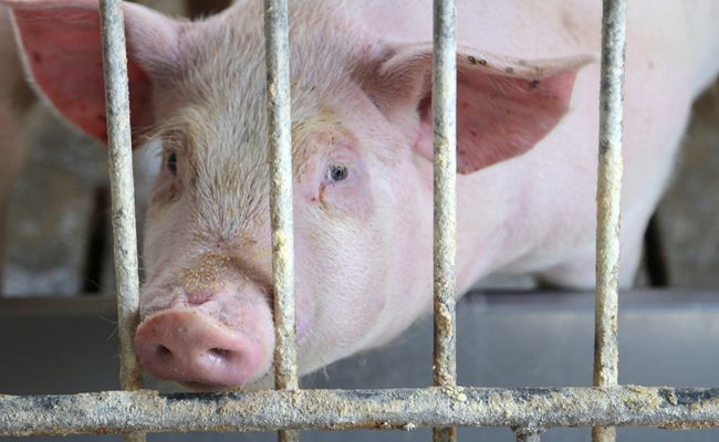 Former Hog Farm Employees Reveal Horrifying Behind-the-Scenes Animal Abuses  -  DEMAND Illinois: PROTECT pigs against UNSPEAKABLY widespread abuse!  Please Sign and Share Widely In Moral Outrage!