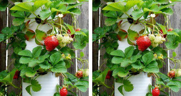 Avec leprintemps, le jardin suspenduvoit rouge fraise ! Voilà un DIY déco de jardin en hauteurpour planter des fraisiers dans le jardin ou sur le balcon d'une façon déco et gain de place qui ravira vos papilles et vos yeux.Rédigé le 16/03/2016Déco Cool vous a déjà donné des astuces pré