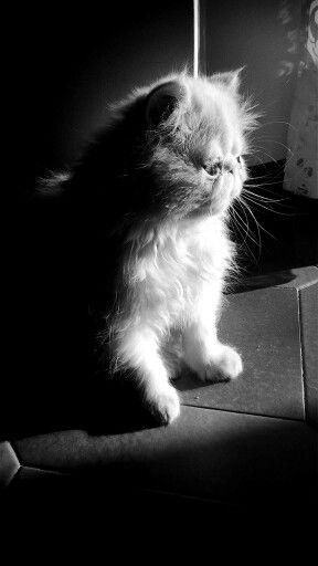 Gatto persiano...