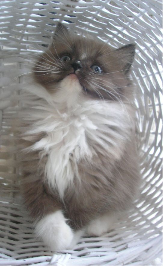 RagaMuffin Kittens For Sale, RagaMuffin Kittens Available, Colourpoints, Mitted, Bi-Colour, Tabby