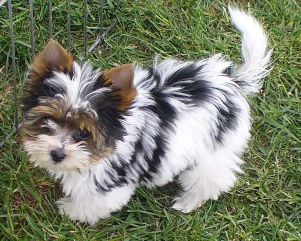 Biewer Yorkshire - I don't usually go for small dogs, but there is room in my heart for this little ball of precious.