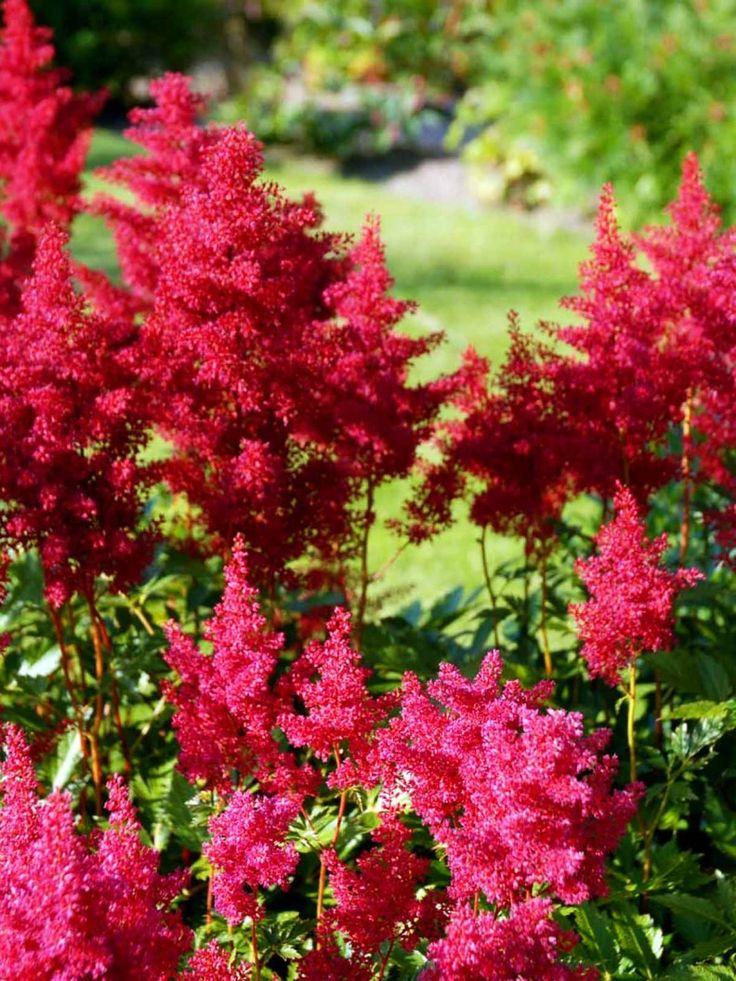 Silverastilbe, Astilbe japonica 'Red Sentinel'