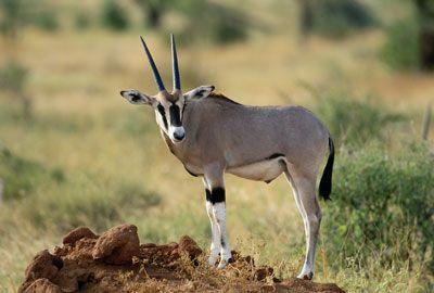 Omani Arabian Oryx