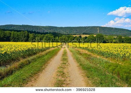 A #field of #sunflower with a dirt #road in the middle