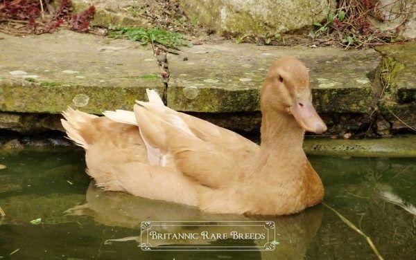 Orpington Duck breeds Britannic Rare Breeds Ducks