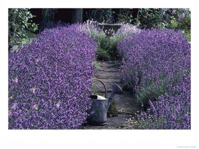 Lavendelhekk