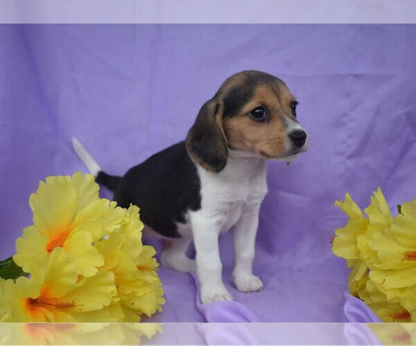Beagle Puppy For Sale In Millersburg Ohio Usa Adn 169664 On