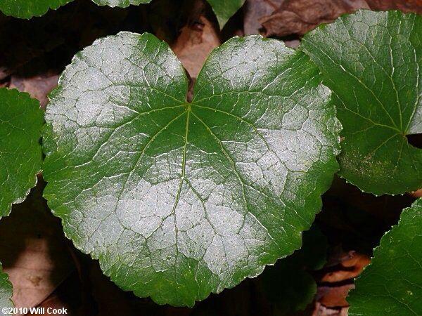 Galaxy Galakxblad, Galax urceolata, Diapensiaceae, SNITT