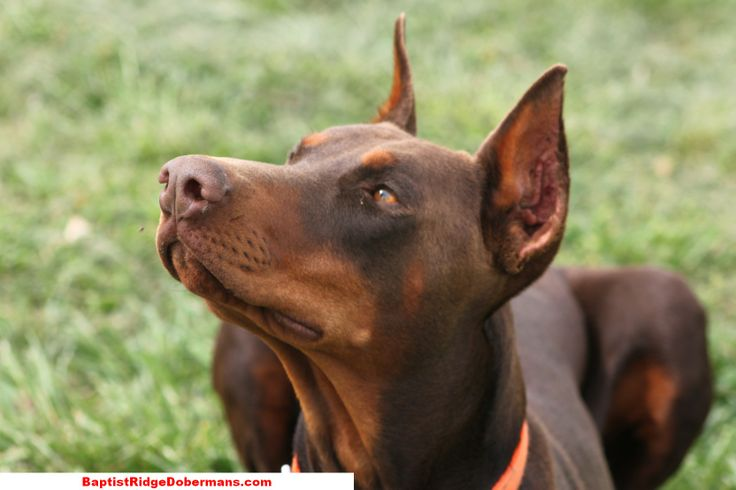 Pictures - AKC Registered Doberman puppies for sale - Baptist ...