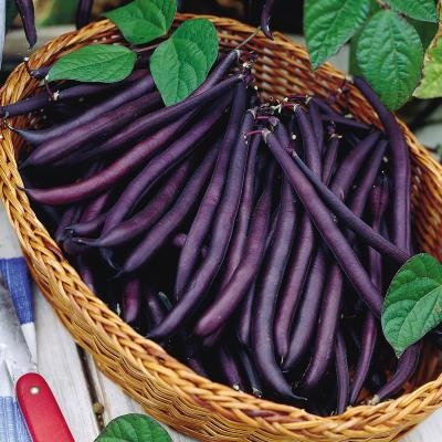 Purple Bean.        Beautifully purple colored beans turn forest green when cooked. Bush bean has a compact upright habit. Stringless beans have excellent flavor. Pods measure 5 to 5 1/2 inches. Great bean for freezing or canning. 50-52 days.