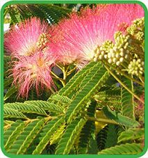 best 25 albizia julibrissin ideas on pinterest