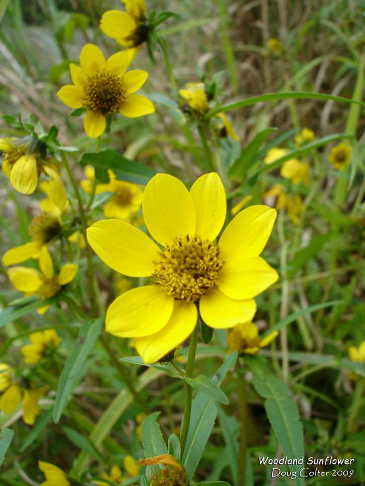 Woodland Sunflower (Helianthus divaricatus) • Family: Aster (Asteraceae)  • Habitat: sparse woods, dry thickets • Height: 2-6 feet • Flower size: 1-1/2 to 3 inches across • Flower color: yellow • Flowering time: July to October  • Photo by Doug Colter
