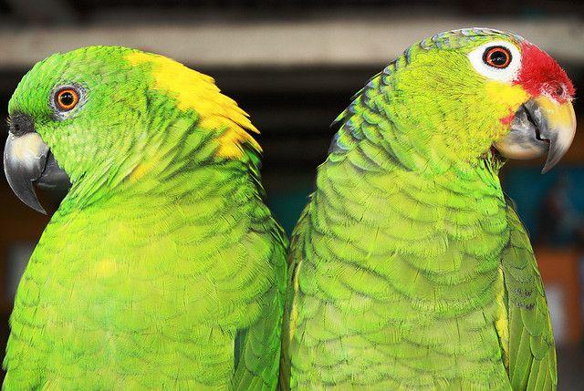 Green parrots, Las isletas Lago Nicaragua (Johnny Templing, via Flickr)