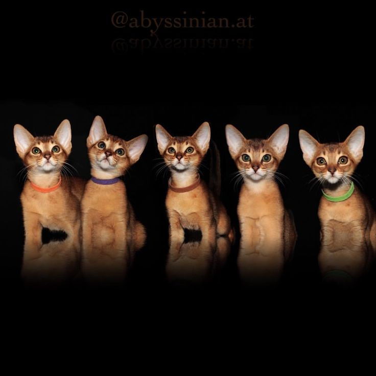 "636 Likes, 20 Comments - AMBERAMULETT Abessinier Katzen (@abyssinian.at) on Instagram: ""Litter B all 5 boys together - #throwback to May. • • #amberamulett #abyssinian #abessinier…"""