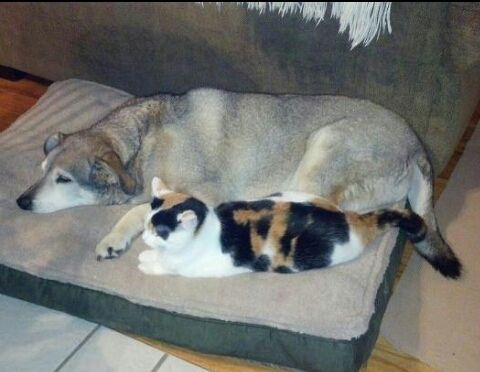 Cat comforts elderly dog unable to walk by sleeping by his
