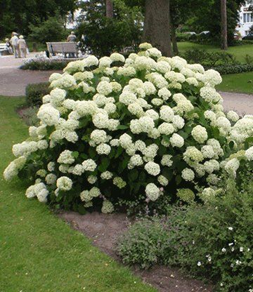 schneeball hortensie 39 annabelle 39 garten pinterest gardens hydrangea and garden ideas. Black Bedroom Furniture Sets. Home Design Ideas
