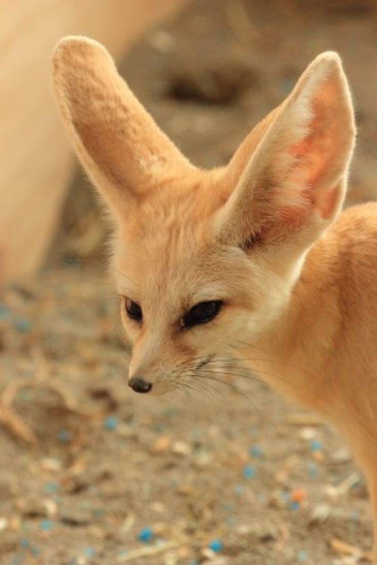 Woestijnvos - De Zonnegloed - Dierenpark - Dieren opvangcentrum - Sanctuary