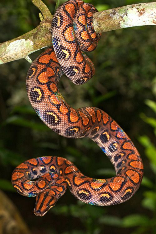 Rainbow Boa II by Robert Oelman