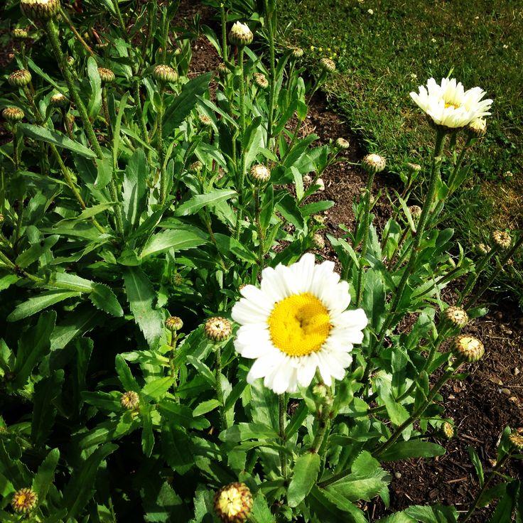 Marguerit / Leucanthemum
