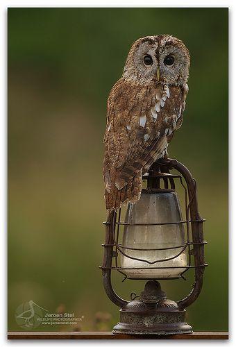 Tawny Owl-Strix aluco Pinned by www.myowlbarn.com