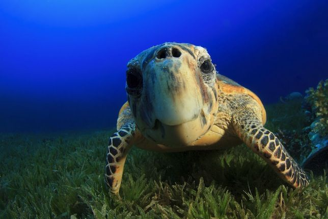 Critically endangered sea turtles rebound in Nicaragua Hawksbill sea turtles are still rare, but after 15 years of conservation efforts in the Central American nation, their nest counts are up 200 percent and poaching has plummeted by more than 80 percent.   Read more: http://www.mnn.com/earth-matters/animals/blogs/critically-endangered-sea-turtles-rebound-in-nicaragua#ixzz3MYEoM2Ik