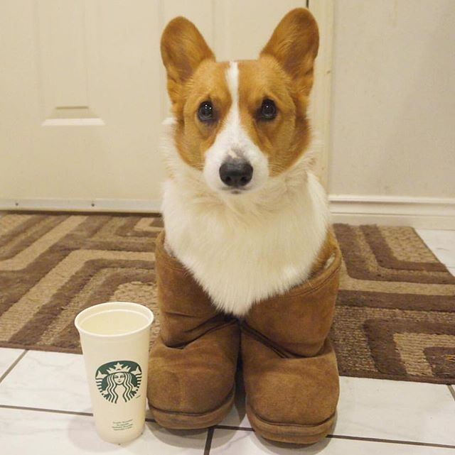 We know it's Monday, but Corgi. #UGGseason #thisisUGG #repost