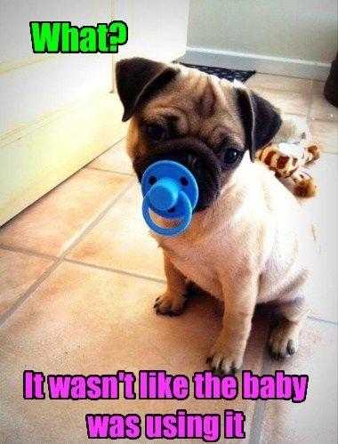 Baby Pug Meme | Slapcaption.com