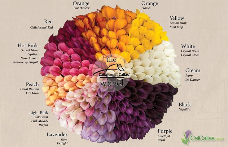 A guide to our mini colored calla lilies... the perfect addition to your wedding! #callalilies #weddings #callaweddings