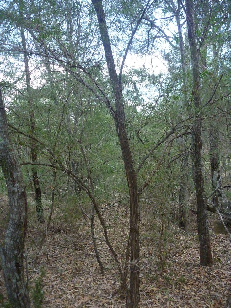 Rare Rose Myrtle (Leptospermum petersonii Variety B') forest.