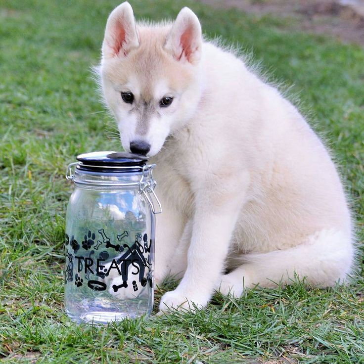 😍😍😍 I can not resist this sweet little face!! Come here, Willow!! I'll fill it up. 😆🐶🐾 . . . @husky_dingo -  Can somebody please fill er up??? Treat jar is from @amicihome it's the Pet Lifestyle collection and features playful dog-related icons surrounding this 50 ounce treat jar. It has a hermetic type seal to keep your treats fresh. Pick these containers up at @homegoods @tjmaxx @homesense @winners or @burlingtoncoatfactory  Don't forget to tag your photos…